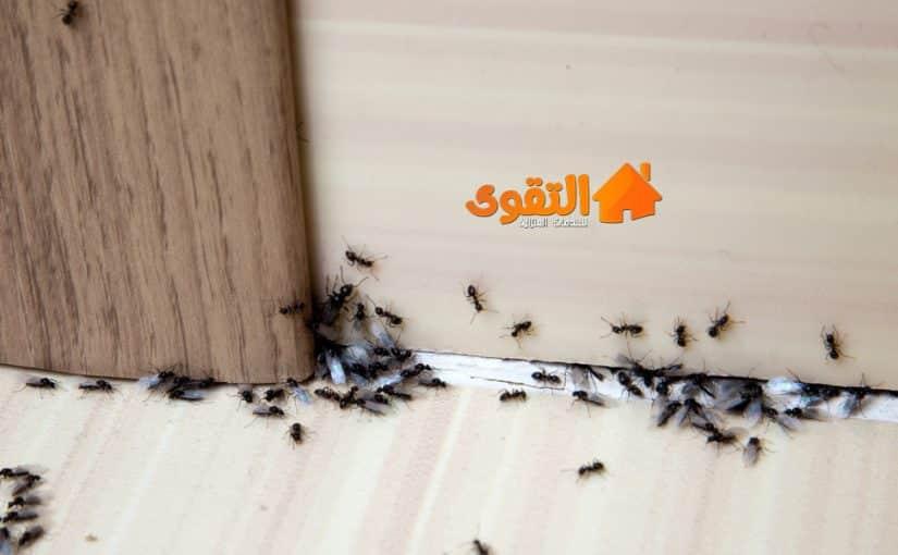 شركة-مكافحة-النمل-الاسود
